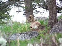Tenured Bighorn Ram