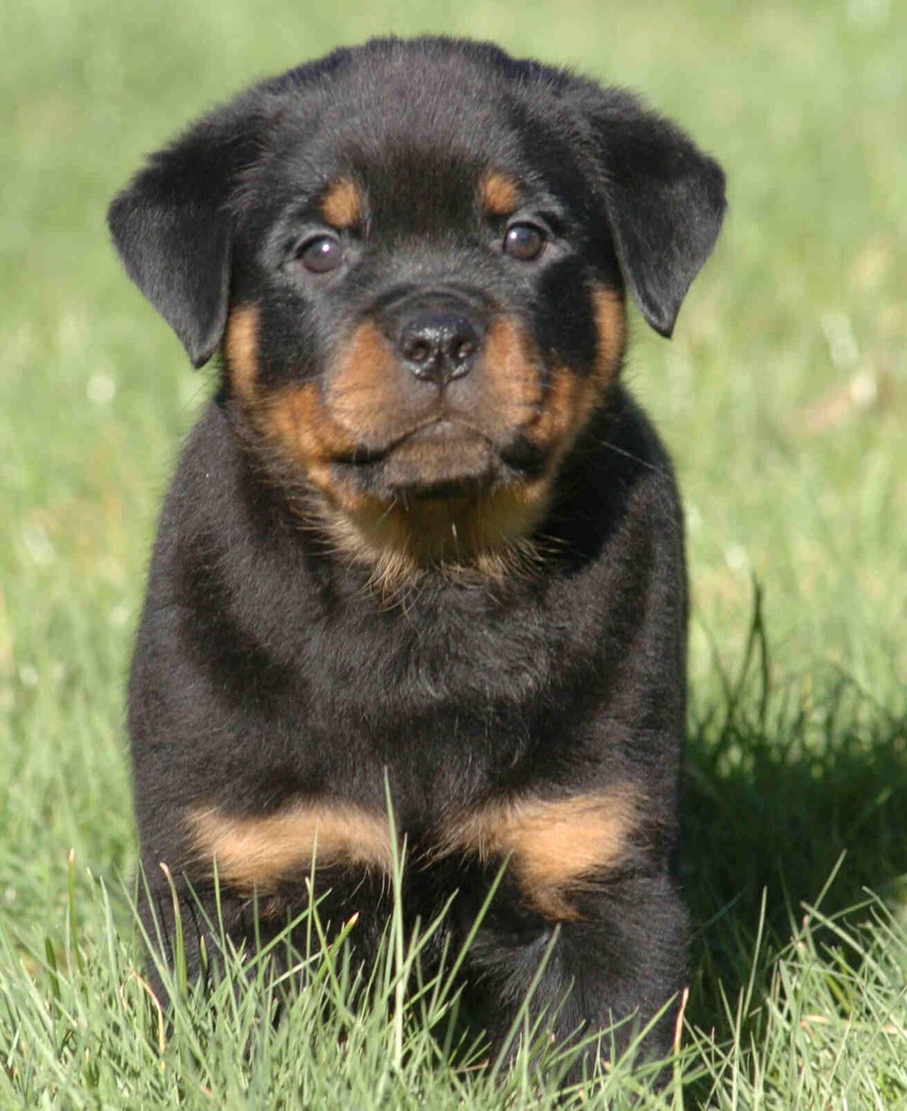 Dog Rottweiler Puppies