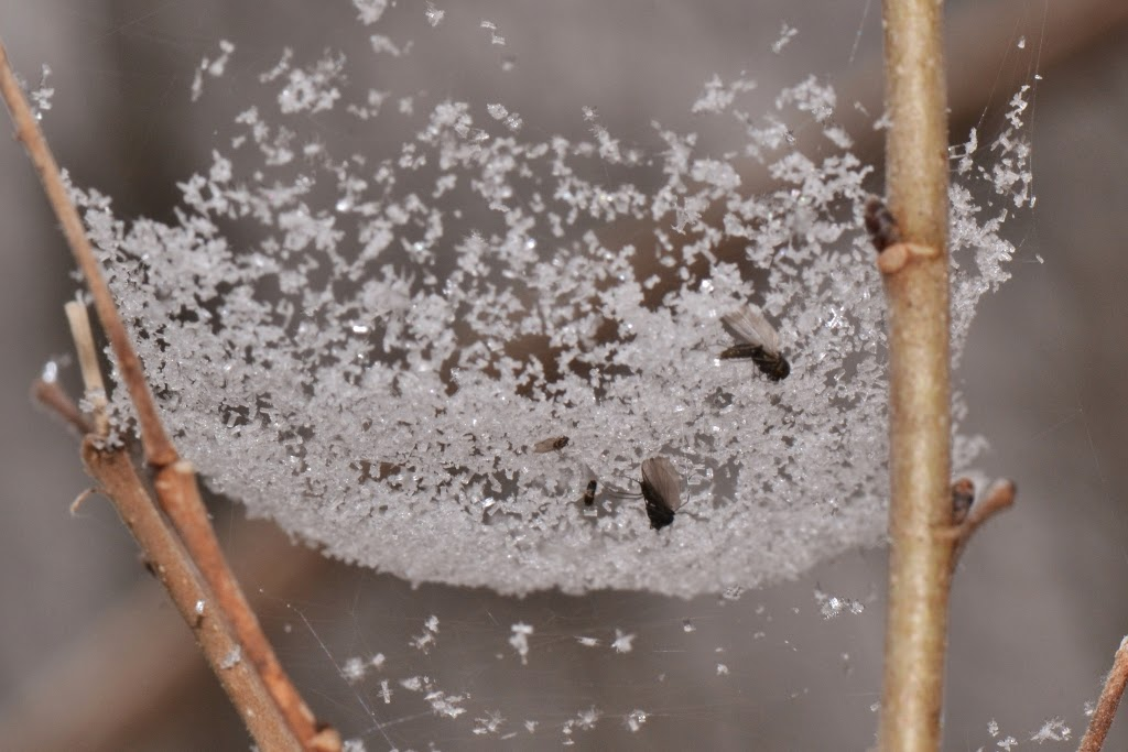 prey in a snow-coated web of a bowl and doily spider, Frontinella communis