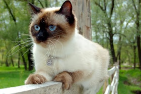 http://2.bp.blogspot.com/-I6MXIgr17Jw/UnsEOAgmgCI/AAAAAAAAAGM/AqzOT6BSW18/s1600/kucing-siam.jpg