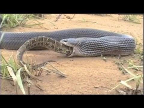 Cobra muçurana devorando uma Cascavel