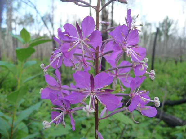 Living off the land foraging organic gardening nature fireweed pretty and somewhat edible also used for tea fandeluxe Image collections