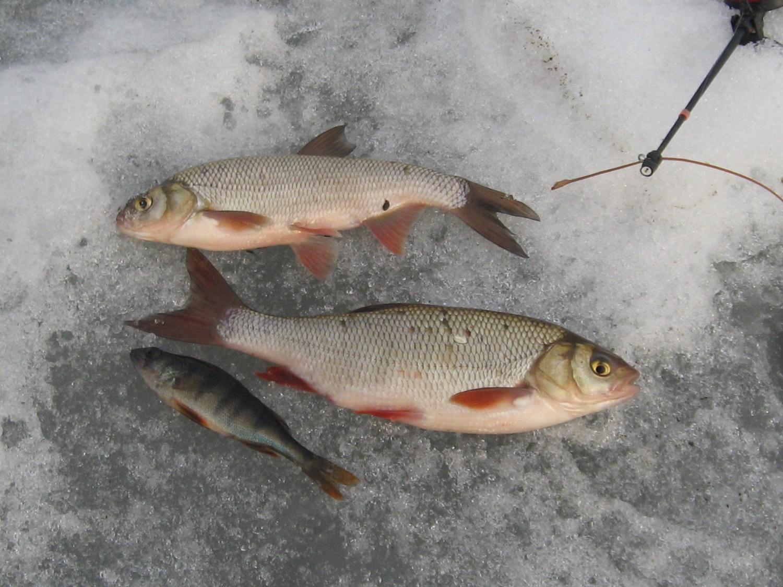 Язь на зимней рыбалке по последнему льду
