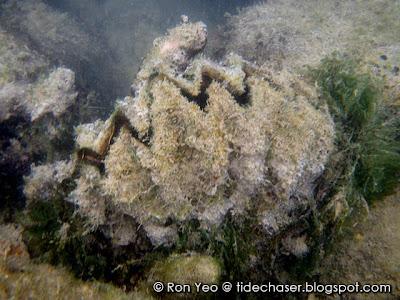 Giant Honeycomb Oyster, Hyotissa hyotis