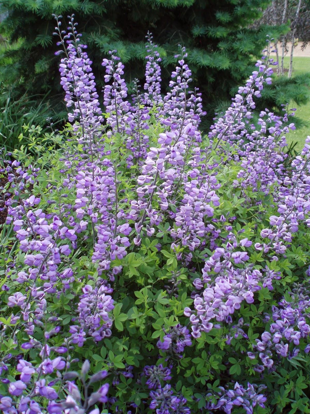Rotary botanical gardens hort blog for Purple flowering shrubs identification
