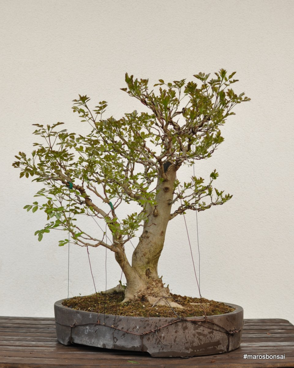 Maros Bonsai Blog April 2015
