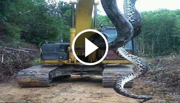 Colombia informa una anaconda mata a miles de hombres en for Cabina lago north carolina