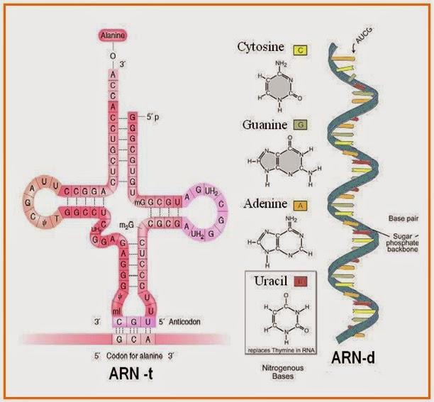 Gurucerdas subsatnsi genetika gambar arn t dan arn d sintesis protein ccuart Images