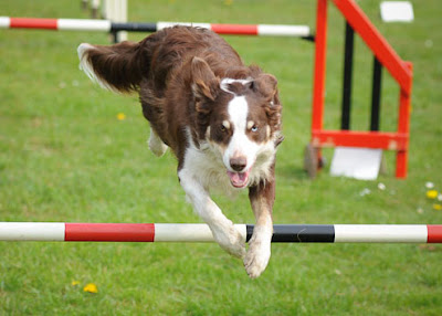 dog-hurdles-challenges