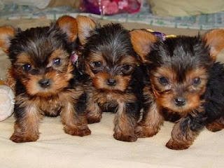Yorkshire Terrier Puppy Picture
