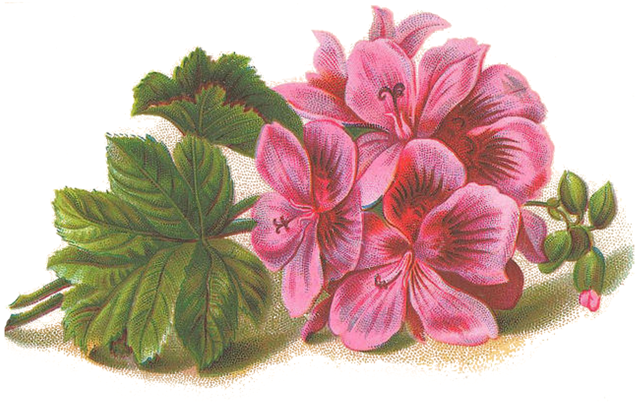 geranium flower drawing - photo #29
