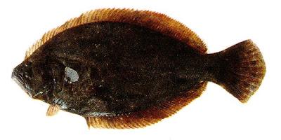 Lenguado Paralichthys orbignyanus