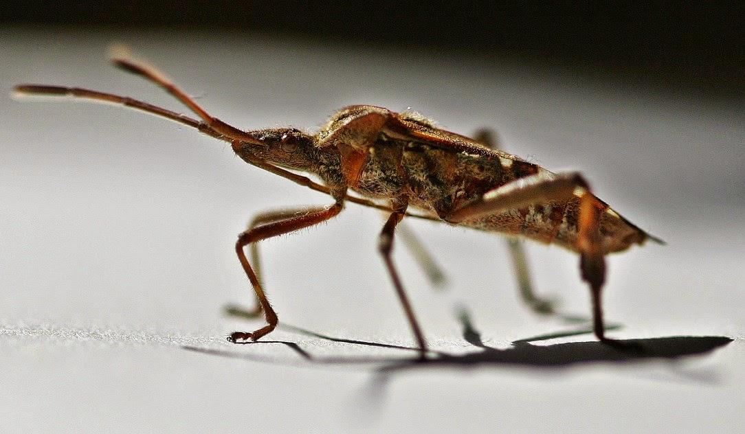 Macrophotography Beetle