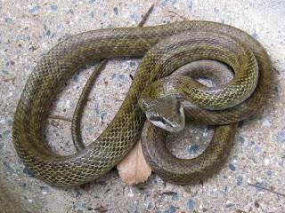 シマヘビの画像 p1_31