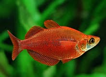 Freshwater Red Irian Rainbowfishes