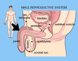 The Male Reproductive System