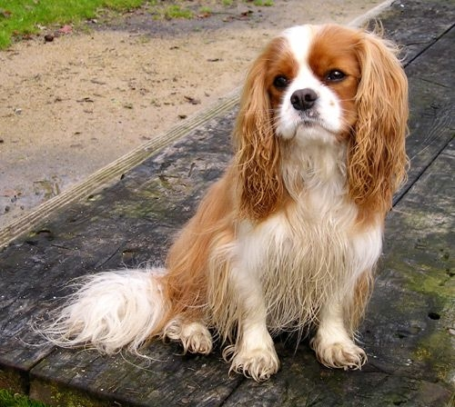 Spaniel Dog Breed Pictures