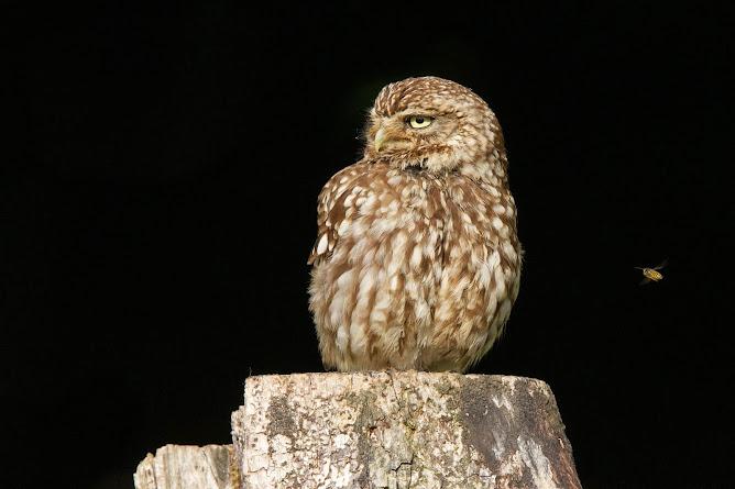 Little Owl/Athene noctua