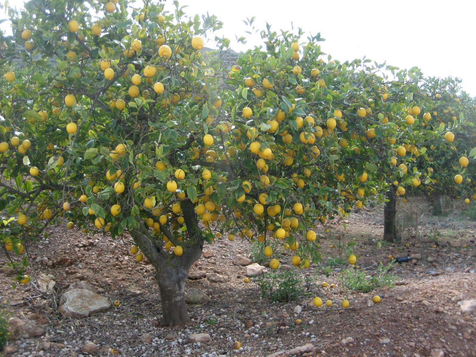 iba yo tan tranquilo paseando entre los limoneros que estos d&#237