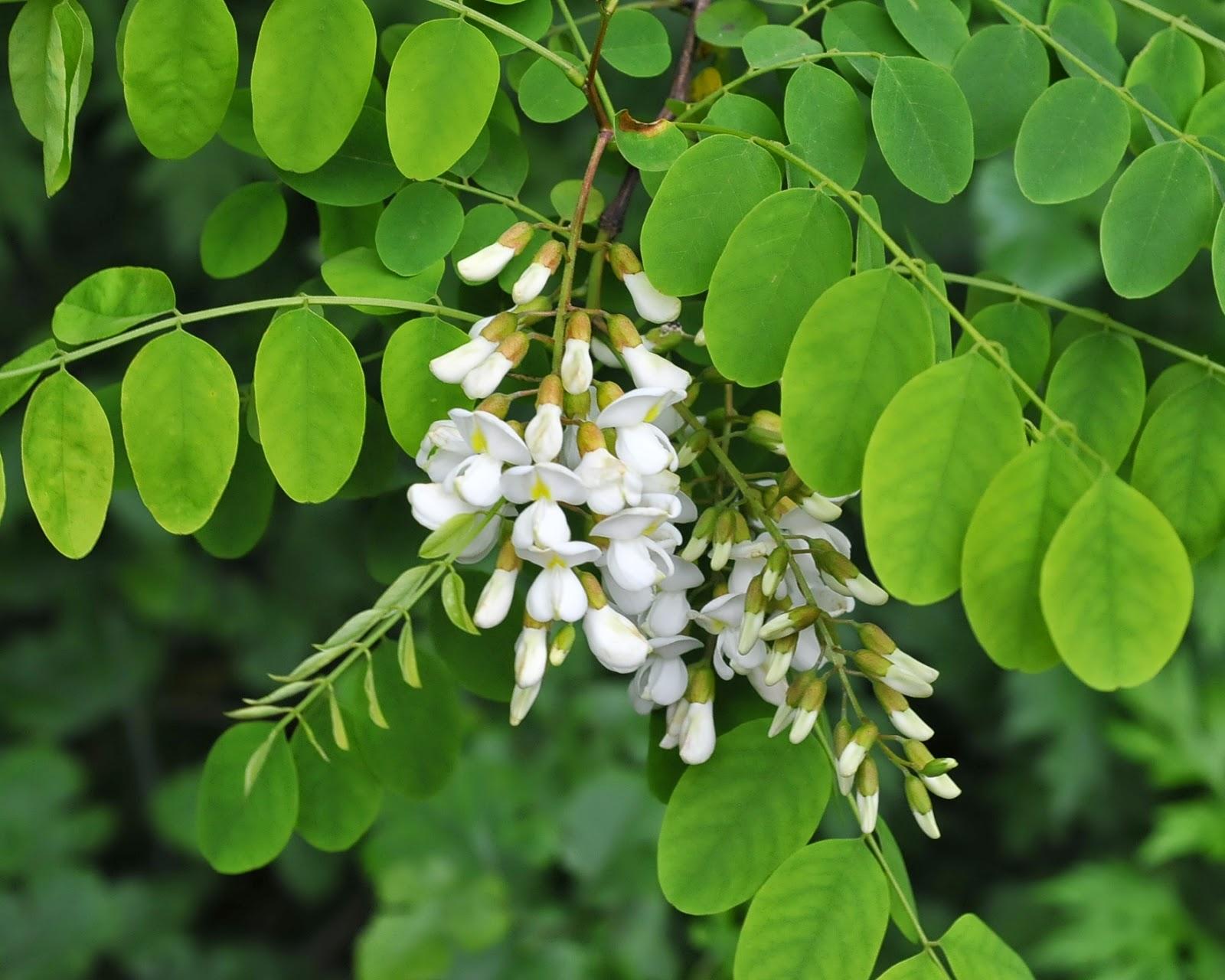 Black locust robinia pseudoacacia overview health for Acacia albero