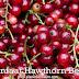 Manfaat Kesehatan Dari Hawthorn Berry