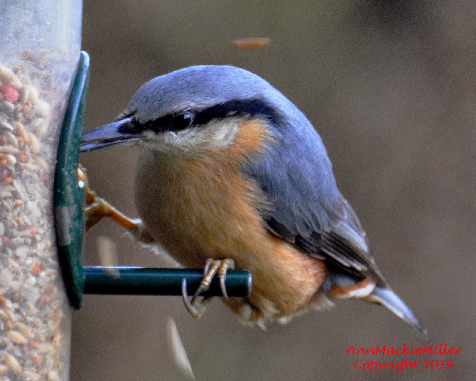 nuthatch on garden feeder