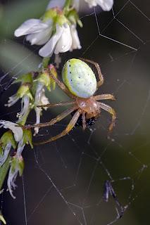 Para ampliar Araniella cucurbitina (Araña verde común) hacer clic
