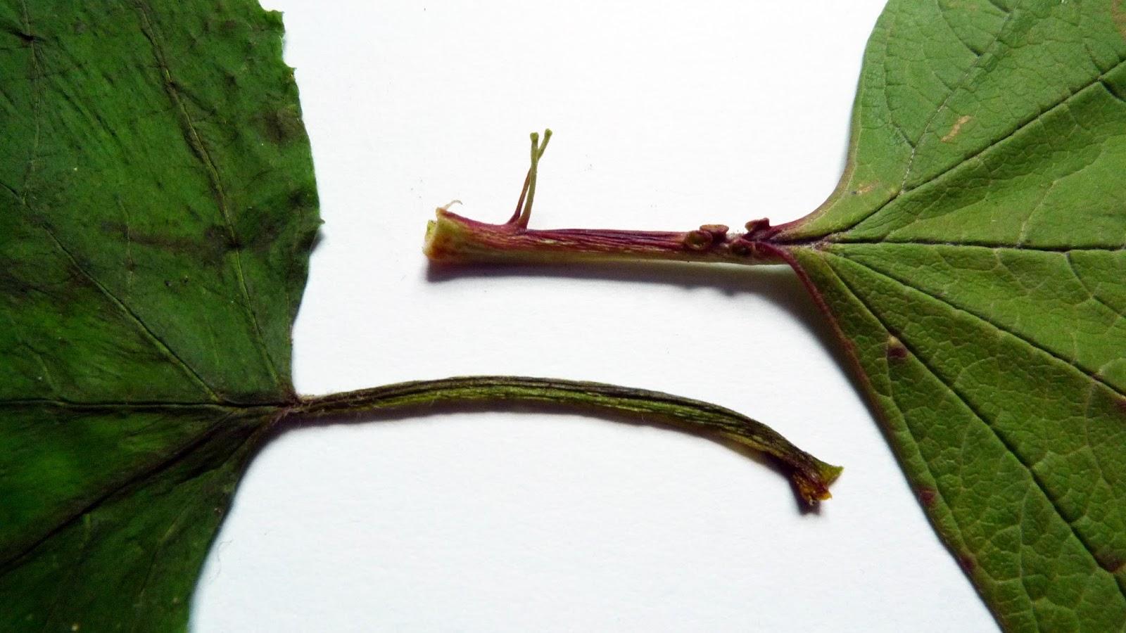 Wild Harvests: Highbush Cranberry de-befuddled