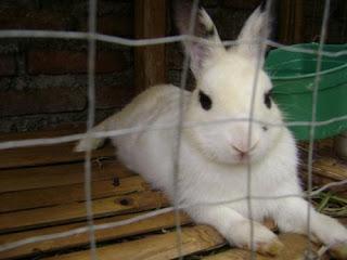 Gambar Kelinci Hias jenis kelinci hias