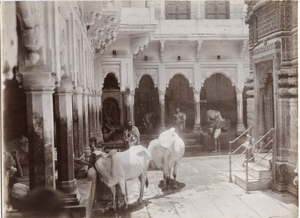 Cows in Temple Varanasi c1890's