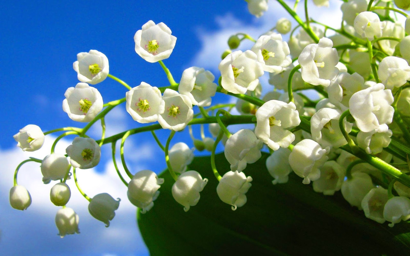 Flower Photos Most Beautiful Flowers In The World Lily Of Valley