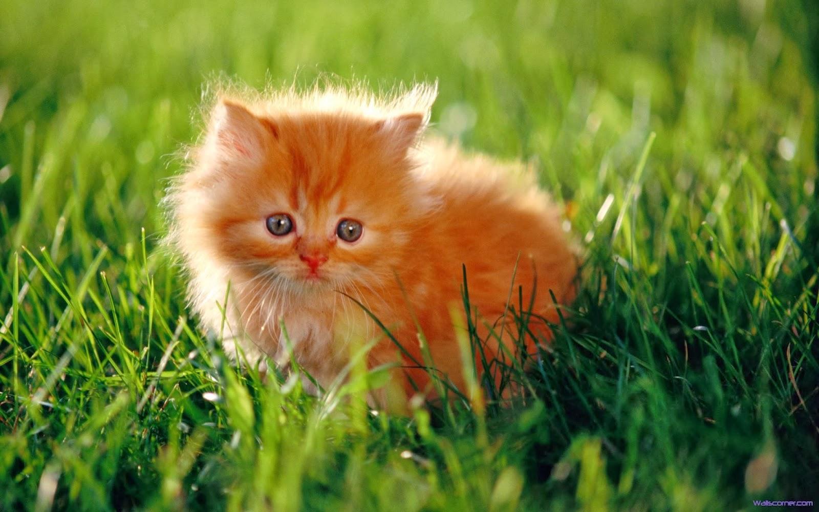 Baby Persian Cat Pets