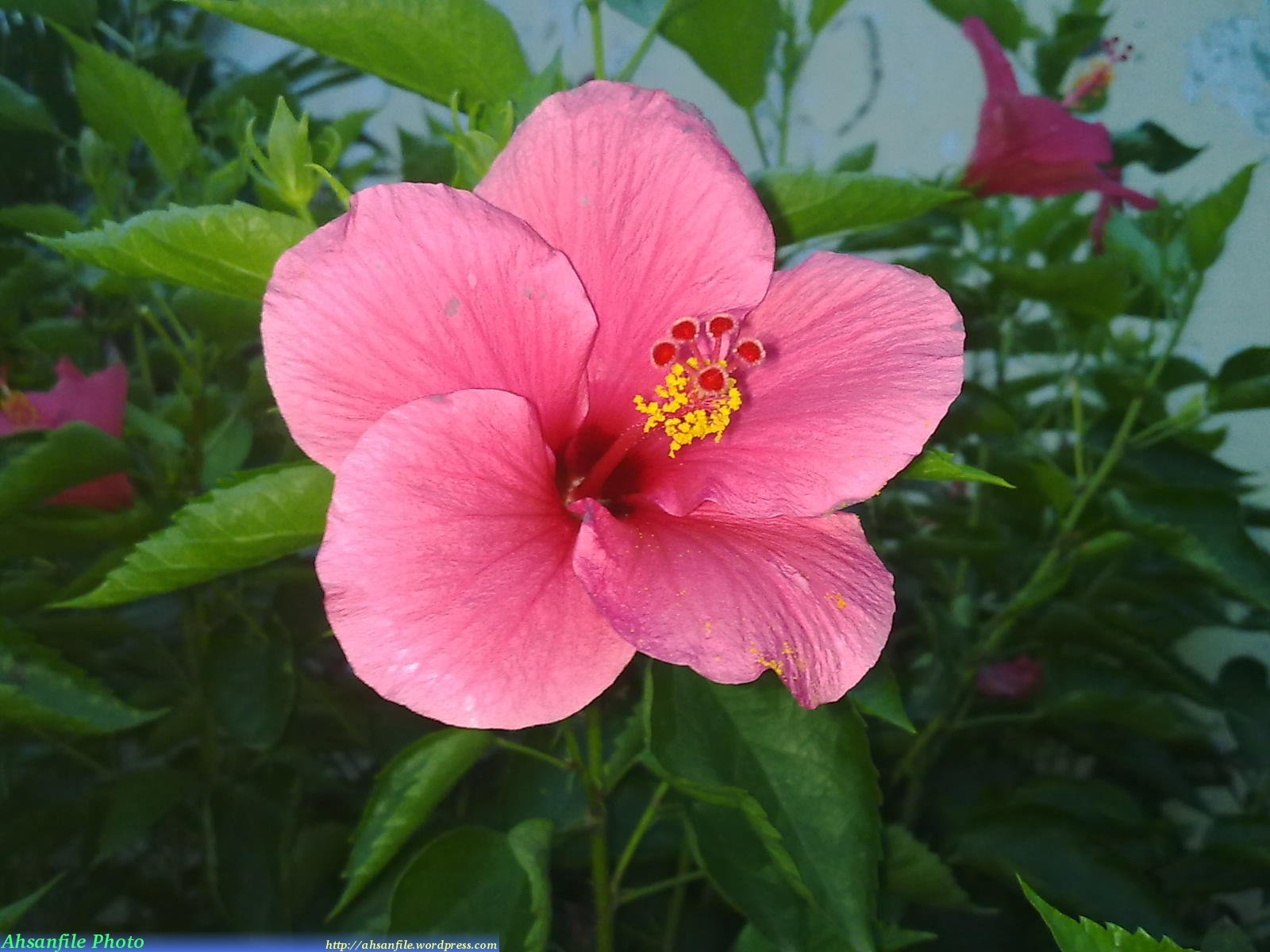 hibiscus rosa 2014 02 20 hibiscus rosa sinensis rose of china. Black Bedroom Furniture Sets. Home Design Ideas