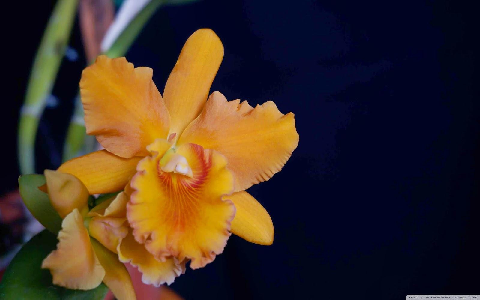 orchid closeup wallpaper