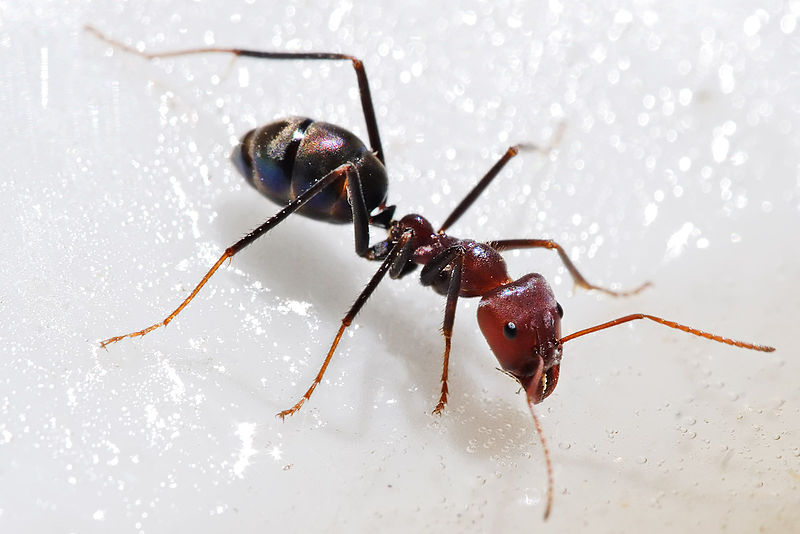 Bug That Looks Like Ant