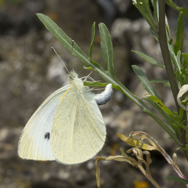 Small White, Pieris rapae, laying an egg.   Riverside Country Park, 10 August 2012