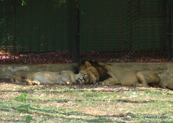 sleeping lion lioness mysore zoo