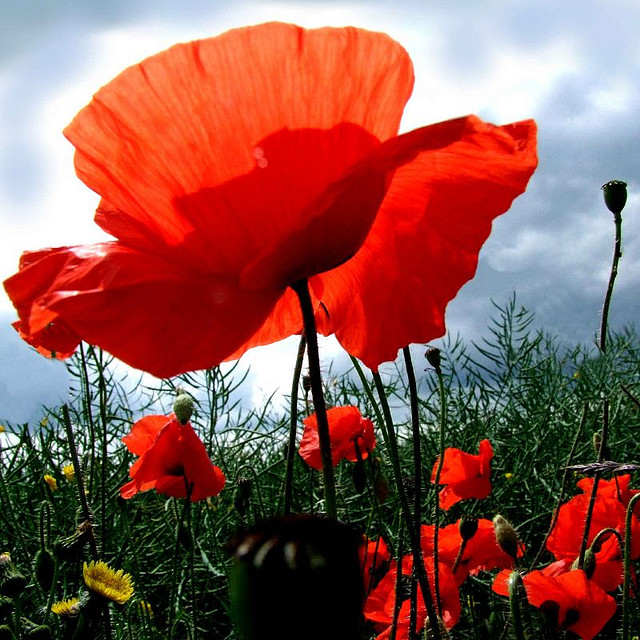 memorial day poppy flower poem