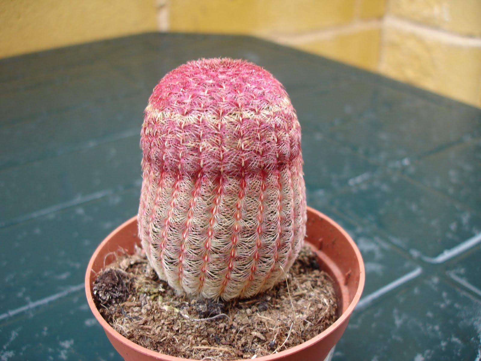 La casa de los cactus echinocereus rigidissimus ssp for Nombres de cactus