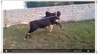 http://funkidos.com/videos-collection/funny-videos/angry-bull