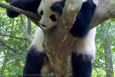 panda bears pictures 14