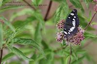 macro papillon noir et blanc sylvain