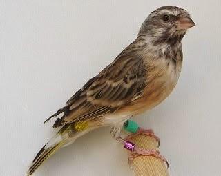 Gambar Cara Merawat Burung Blackthroat