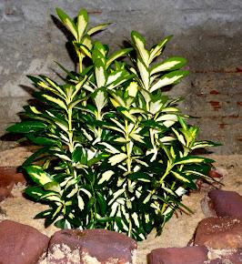 Euonymus Japonica/Barrete-de-padre (Orig. Japão)