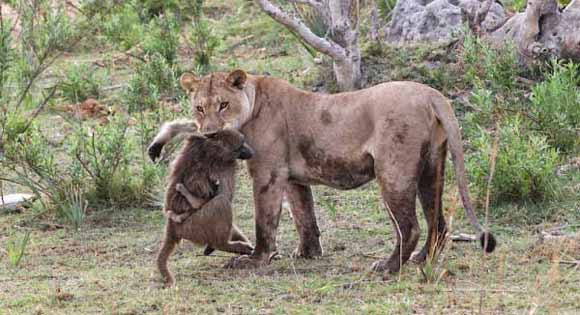 Bayi Baboon dan Singa Betina