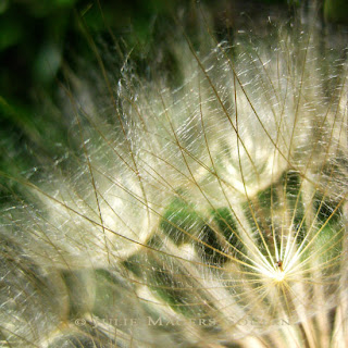 old edit, Beautiful golden rays of light play along the fine delicate filaments of an autumn seed head