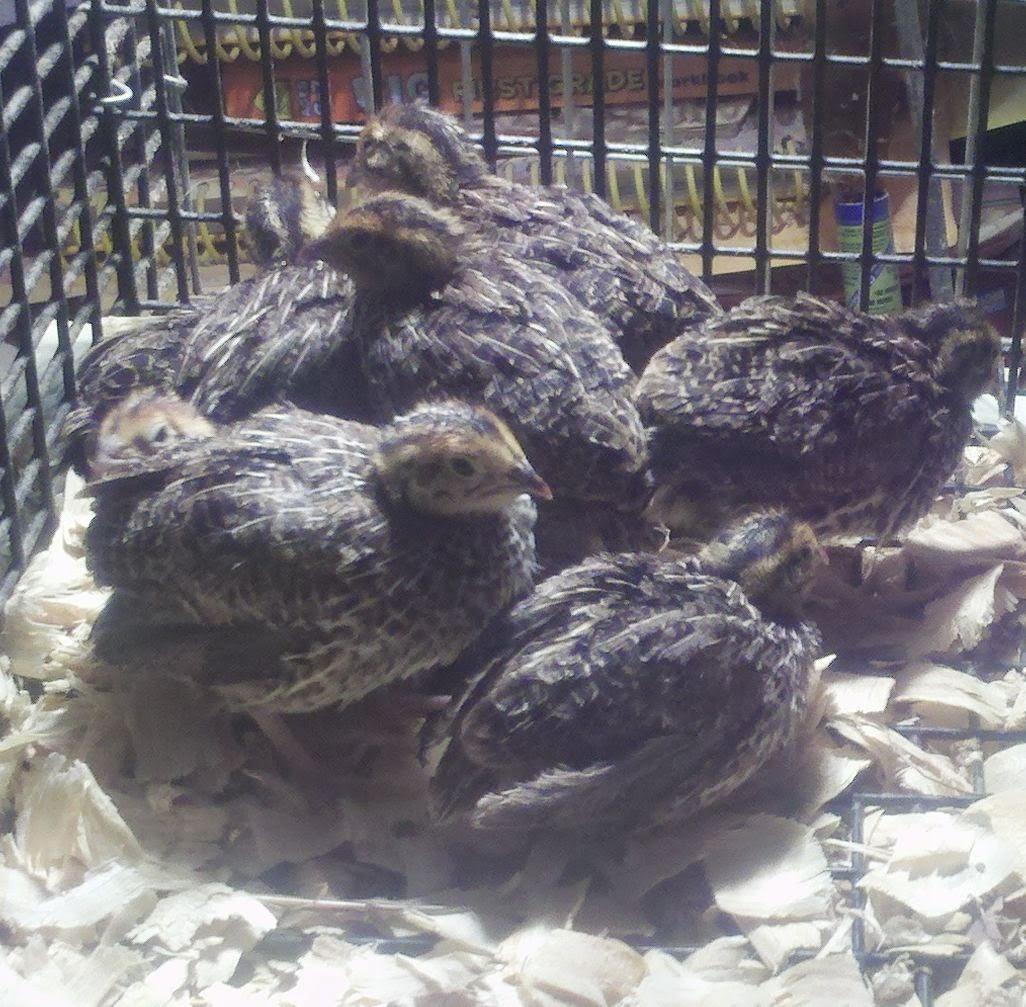 Coturnix quail, Japanese quail, White Phoenix chicken, Freedom Ranger hatchery, raising Freedom ranger chickens,