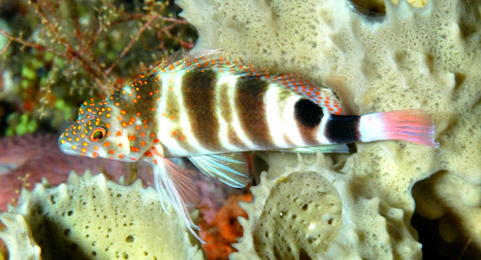http://fishshare.blogspot.com/2015/01/hawkfishes-pictures-6.html