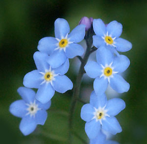 The Forget Me Not Flower Has Aculated A Good Deal Of Legend Over Time One Best Known Legends Is How It Got Its Distinctive Name