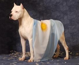 DOGO RAZA CANINA ARGENTINA.